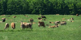 Jersey cattle graze at Tillotson Farm in Pavilion NY