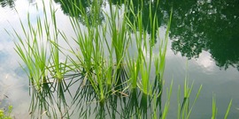 cat tails in farm pond