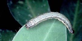 Armyworm3