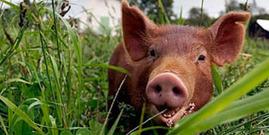 livestock, pig