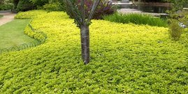 Pachysandra terminalis ground cover