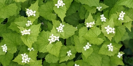 Garlic mustard david cappaert
