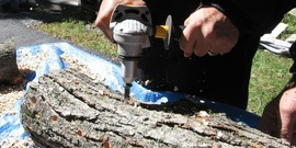 Shiitake log: painting over shiitake spawn in newly innoculated log with food-grade wax; hands on, cultivation,