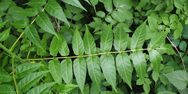Tree of Heaven foliage