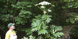 Giant Hogweed-  Dept of Environmental Conservation