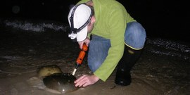 horseshoe crab monitoring