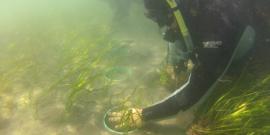 planting eelgrass