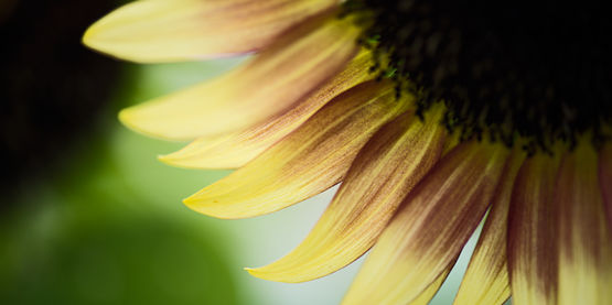 Sunflower 433321 640
