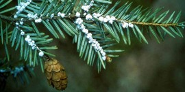 Hemlock wooly adelgid