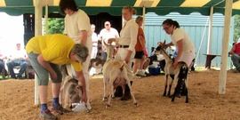 Goat showmanship, 4-H - Chenango County Fair 2014