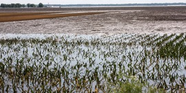 Quincy, IL, June 20, 2008 -- Fields of corn are flooded and crops may be ruined for the year by the flooding waters of the Mississippi River in southern Illinois.