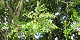 Aailanthus altissima; Invasive Species; Plants; Weeds; Tree of Heaven