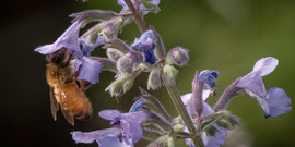 A honey bee is attracted to flowers in theUSDA People's Garden, pollinator garden in Washington, D.C. (USDA Photo).