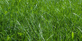 Cool Season grasses and broadleaf weeds in a closeup of a lawn