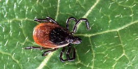 Deer tick on a leaf