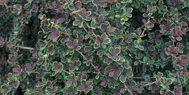 Japanese Barberry foliage