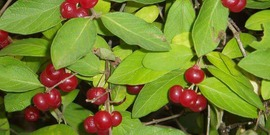 Bush Honeysuckle fruit