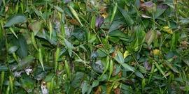 Black dog-strangling vine, black swallowwort (Cynanchum louiseae)