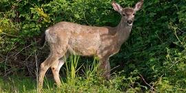 Black-tailed deer grazing by the roadside in Marymoor Park in Redmond, Washington [public domain].