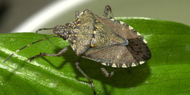 Brown Marmorated Stink Bug on leaf