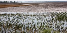 Flooded corn field ill