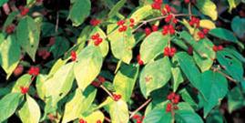 Exotic Bush Honeysuckles