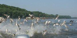 Asian carp jumping usgs