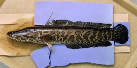 Northern snakehead3