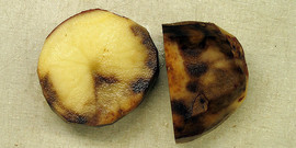 late blight on potatoes