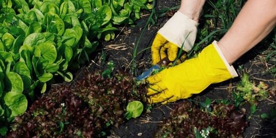 Yellow gardener gloves in soil