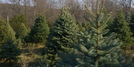 Christmas Trees by Seth Werkheiser  License at https://creativecommons.org/licenses/by-sa/2.0/
