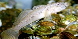 round goby  Neogobius melanostomus