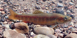 brook trout, Salvelinus fontinalis (Mitchill, 1814)