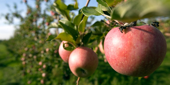 Apples on the tree at Cornell Orchard (Cornell University Photography)