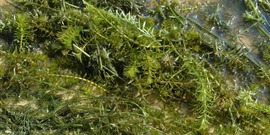 Hydrilla chris evans