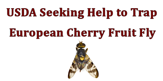 USDA Seeking Help to Trap European Cherry Fruit Fly with picture of fly beneath