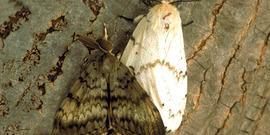 gypsy moth (Lymantria dispar)