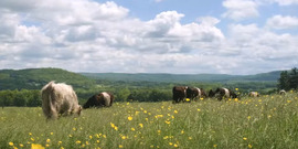 Belted Galloway cattle grazing at Grace Wyly Farm