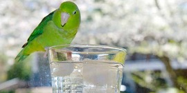 A pet Pacific Parrotlet perching on glass of iced water.