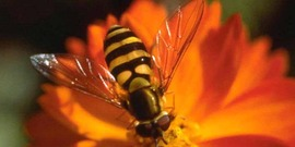 Adult syrphid fly on a flower.