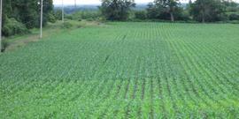 corn field that is part of a GreenSeeker Nitrogen research project