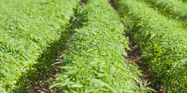 Hemp planted in rows.
