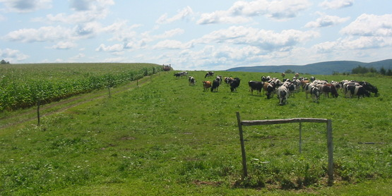 Dairy cows in pasture, Dryden NY