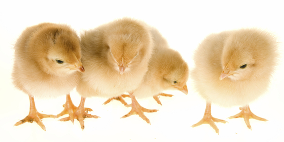 Chick Incubation & Embryology Teacher Training Workshops