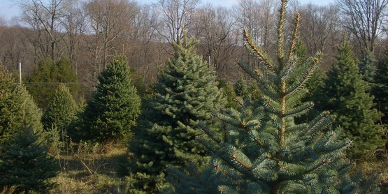 Live Christmas trees are available throughout the area.