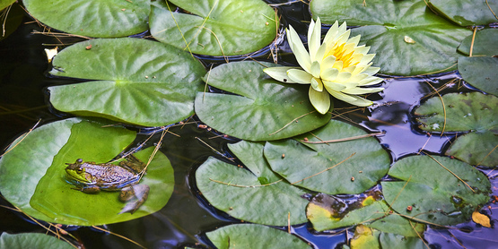Lily Pads can hurt a pond ecosystem if uncontrolled.