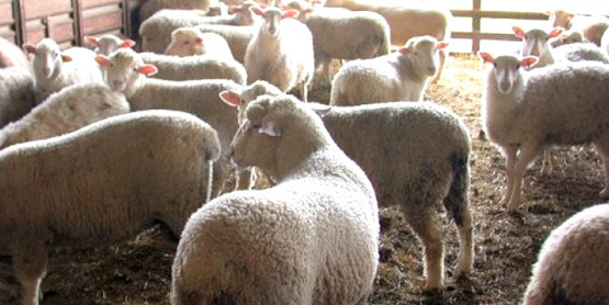 Sheep (2004) from the Cornell Sheep Program website