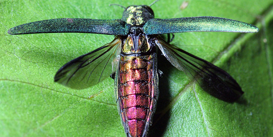 Visit our pages to learn about invasive pests (Emerald Ash Borer),