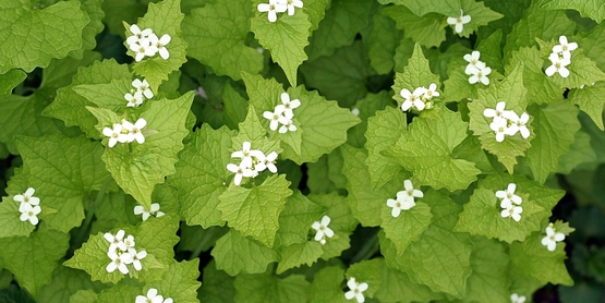 ...and invasive plants (Garlic Mustard),