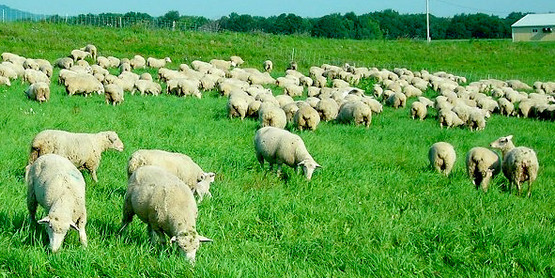 Sheep grazing, from the Cornell Sheep Program website